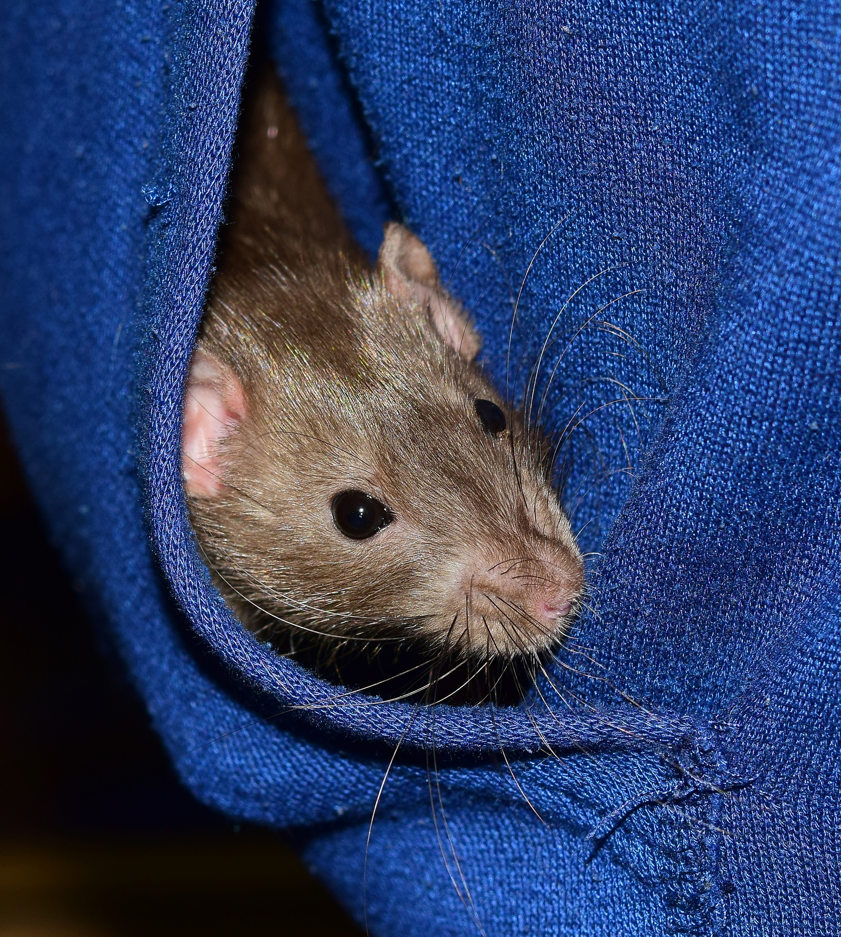 How Much Does It Cost To Keep Rats? – Blue Apple Rattery
