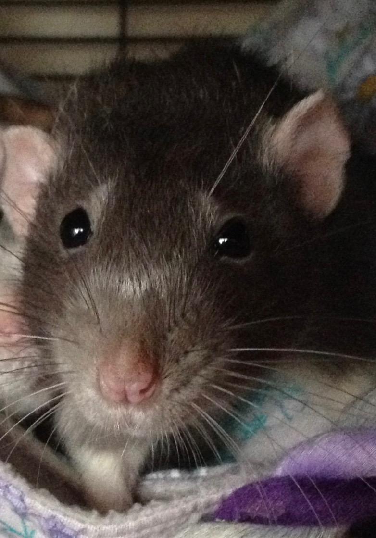 Bringing Down The Cost Of Vet Bills Rats